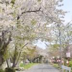 桜めぐり 2012 (母恋富士下の桜並木)