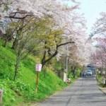 桜めぐり 2008 (母恋富士下の桜並木)