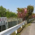 番外編 桜めぐり2008 (中島町)