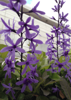these purple guys had 'double' petals