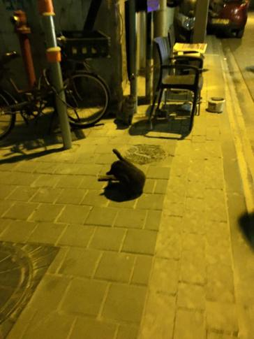 Stray cats are rampant in Israeli cities.