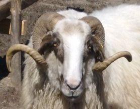srednorodopska ovca