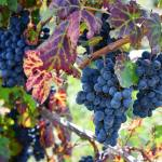 A picture showing grape- fruits for good health