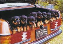 That's one rott-en load of puppies!