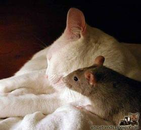 A really confused mouse visits the cat