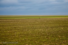 Solitary tree in wheat field