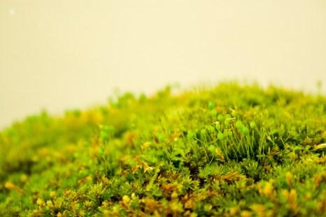 Green moss, macro, National Arboretum, Washington, DC, USA.