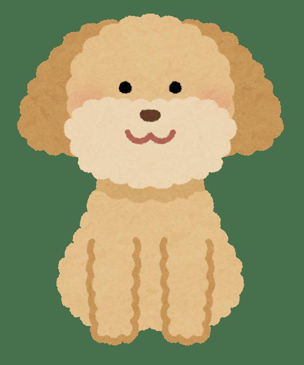 dog_toypoodle_cream