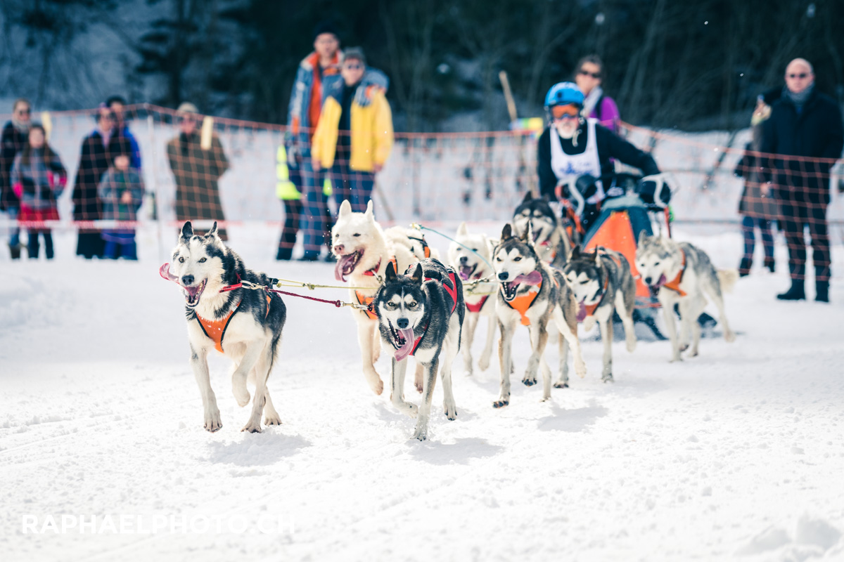 Hundegespann am Internationalen Schlittenhunderennen in der Lenk (Huskys)