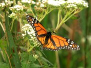 Monarch, mid-pose