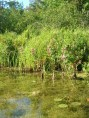 View of some lilypads and weedbeds under the water - great fish habitat