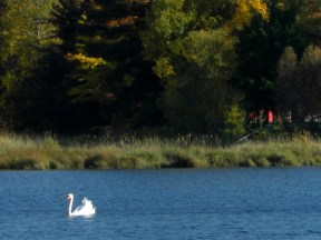 Swan on Blair Lake, in Bellaire