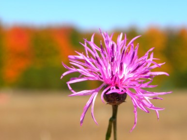 One more thistle for my collection :)