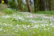 Wildflowers in an islander's lawn