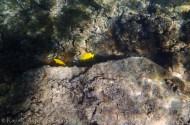 bright yellow reef fish