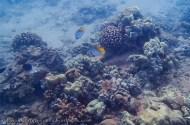 chasing striped reef fish-1