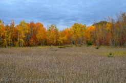 Beech and maple backing meadow