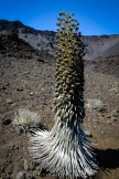 Death approaches for this silversword, which is bringing life anew by flowering