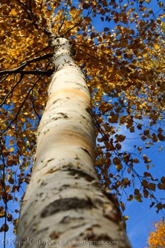 Paper birch (maybe?)