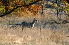 Backyard bambi