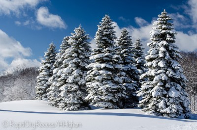 stand of snowy pines