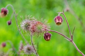 maroon swampflower