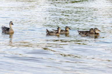 duck family swim
