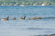 goose family swim