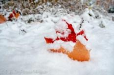 maples fallen in snow