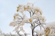 snowy locust