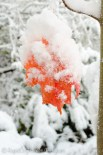 snowy red maple leaves
