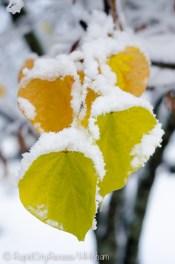 snowy redbud