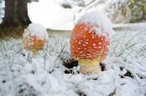 toadstools under snow