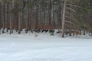 nearly four dozen wild turkeys