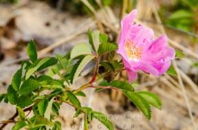 wild rose on the beach