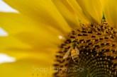 bee on sunflower macro