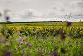 birds fly over sunflower field