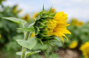half open sunflower