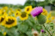 thistle amid sunflowers