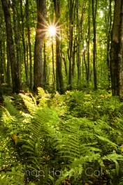 woodland sunburst