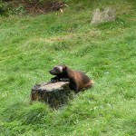 Tracking wolverines and more from citizen adventure scientists