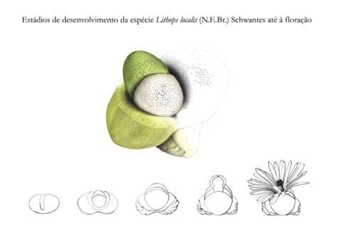 Stages of development of the Lithops localis species.