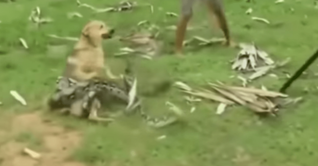 WATCH: Heroic Boys Save Their Dog From the Grip of Giant Snake