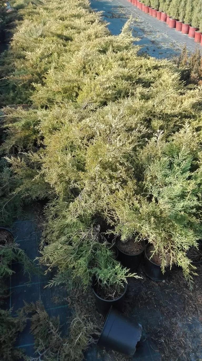 Juniperus chinensis Pfitzeriana Aurea