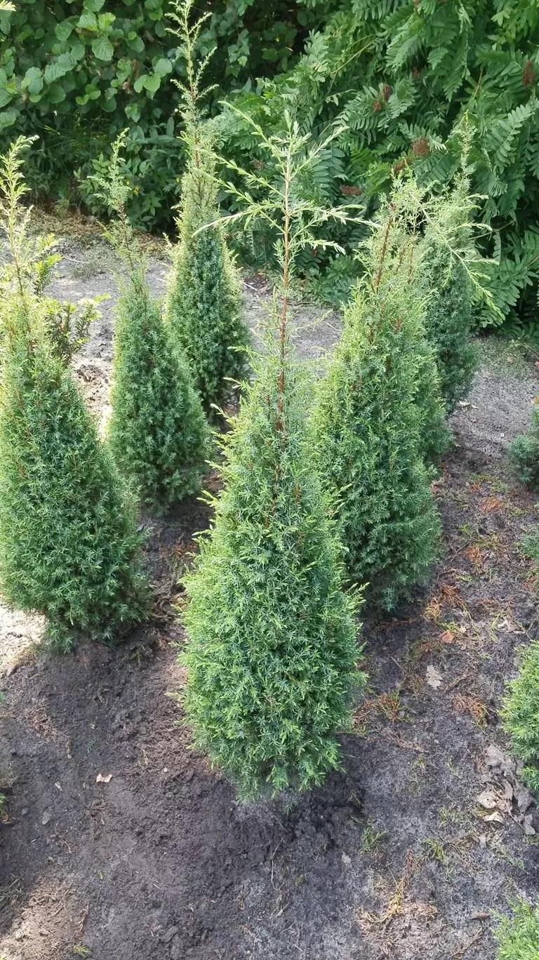 Juniperus communis Hibernica - Kleka