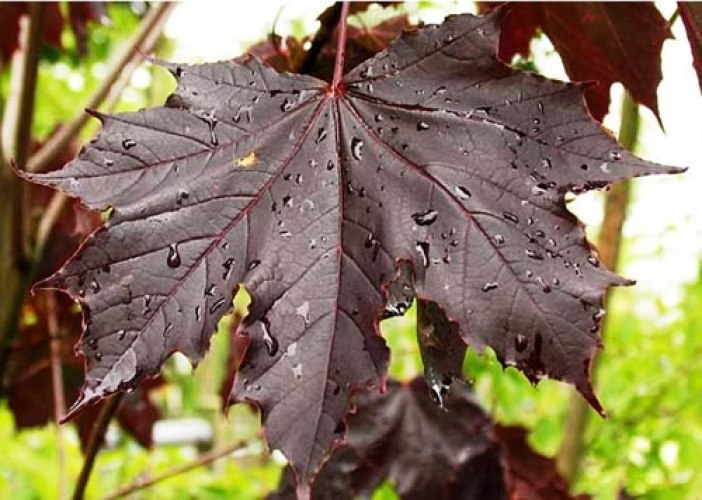 acer_platanoides_royal_red_list1