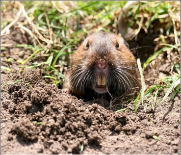 gopher popping out