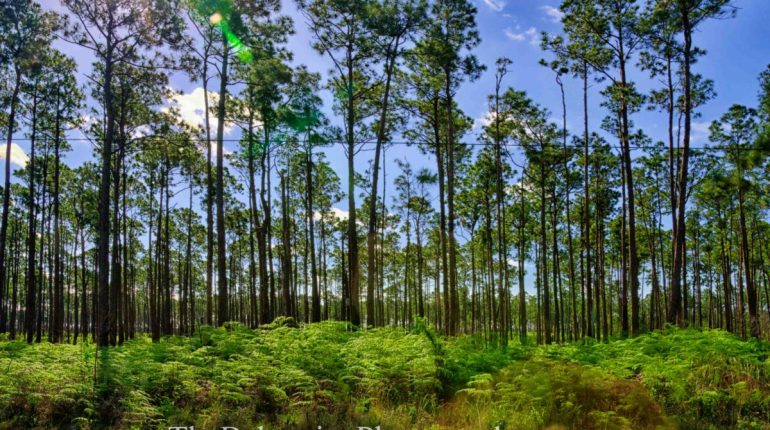 Pine Forest of the Bahamas