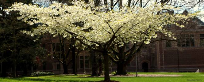Cherry Blossom in University Of Washington.