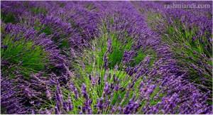 Woodinville Lavender Farm.